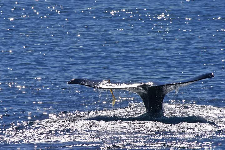 Whale tail off of San Diego