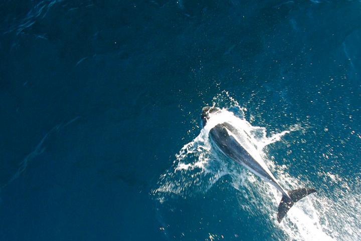 Dolphins are seen on whale watching tours