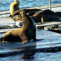 Sea lions relaxing in the San Diego harbor