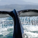 Whale tail before whale dives
