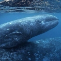 Mother and calf grey whale