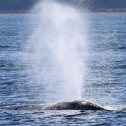 Grey whale migrating past San Diego