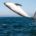 Thousands of dolphins to be seen while whale watching