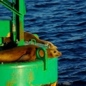 Sea Lions lounging on a bouy